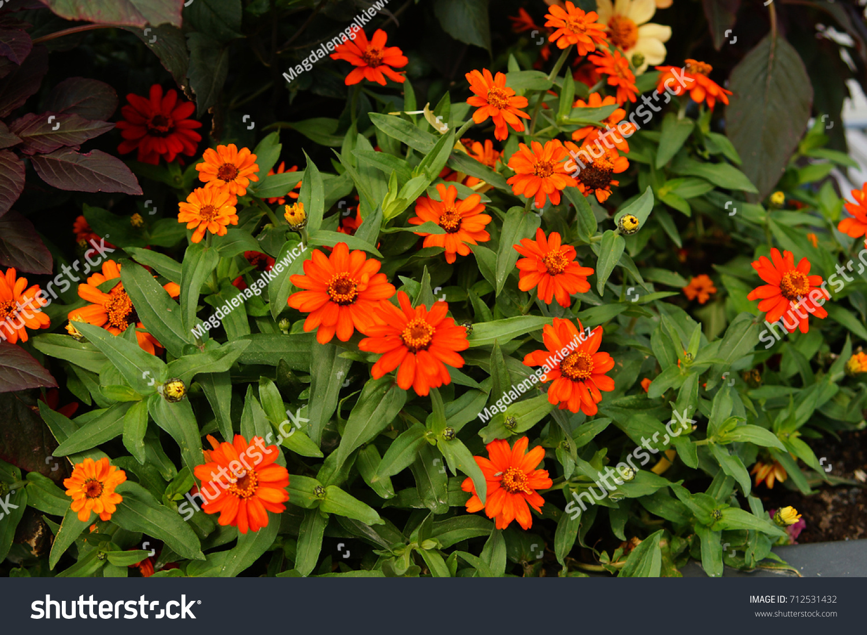 Beautiful Plants Flower Tub Gerber Stock Photo (Edit Now) 712531432 ...