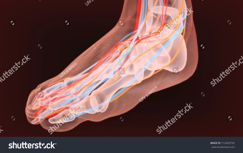 3 D Render Foot Nerves Anatomy Stock Illustration 712650793 ...