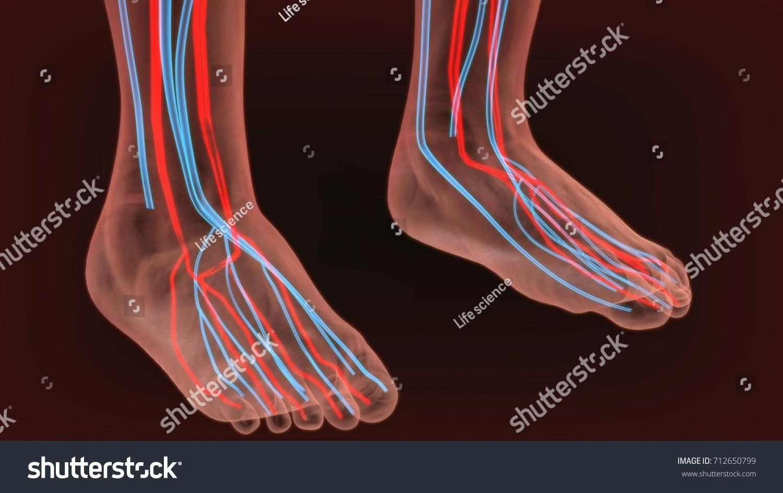 3 D Render Foot Nerves Anatomy Stock Illustration 712650799 ...