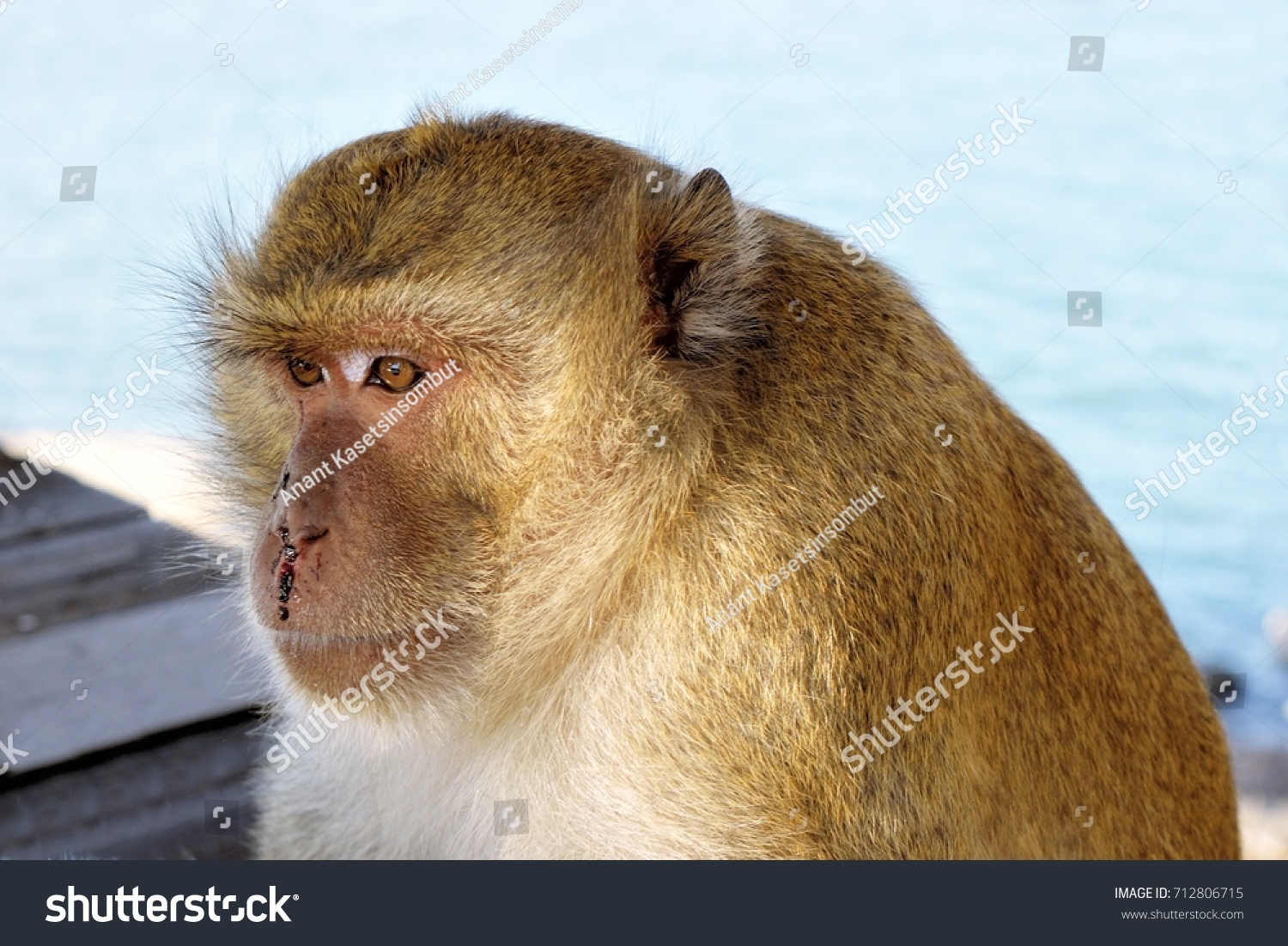 Golden hairy monkey with bloody face with sad eyes,Long-tailed macaque, Crab