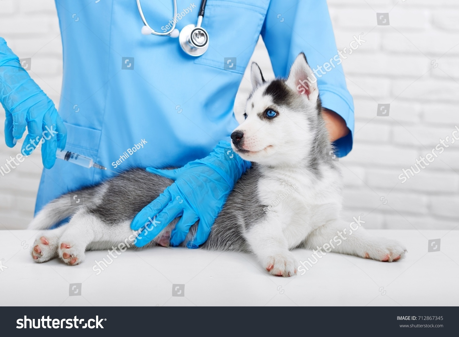 cropped shot cute little siberian husky stock photo (royalty free