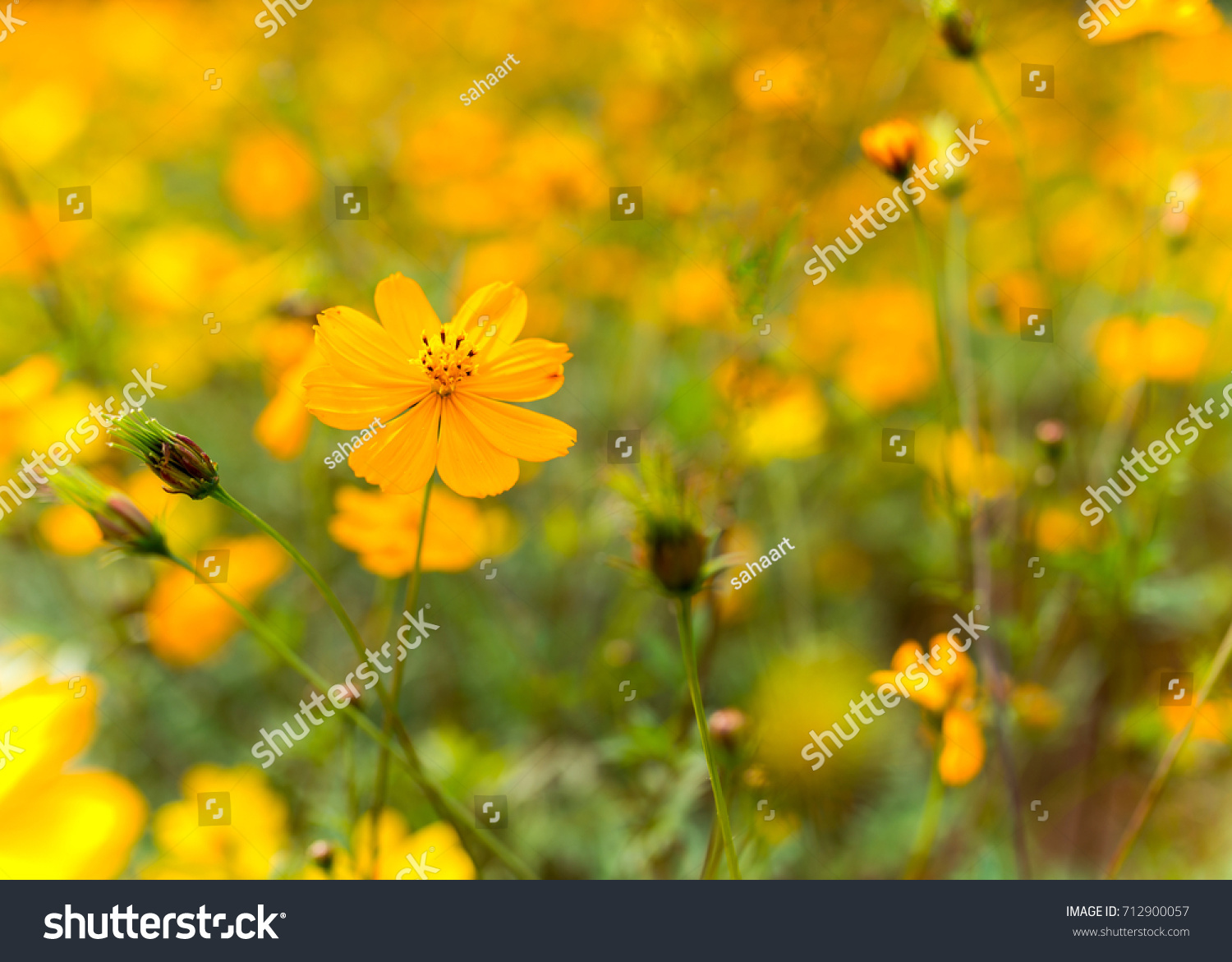 Royalty Free Small Yellow Flowers Perennials On A 712900057 Stock