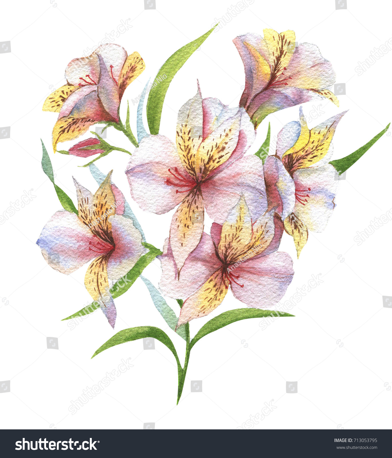 Watercolor Botanical Illustration Alstroemeria Hand Painting Stock