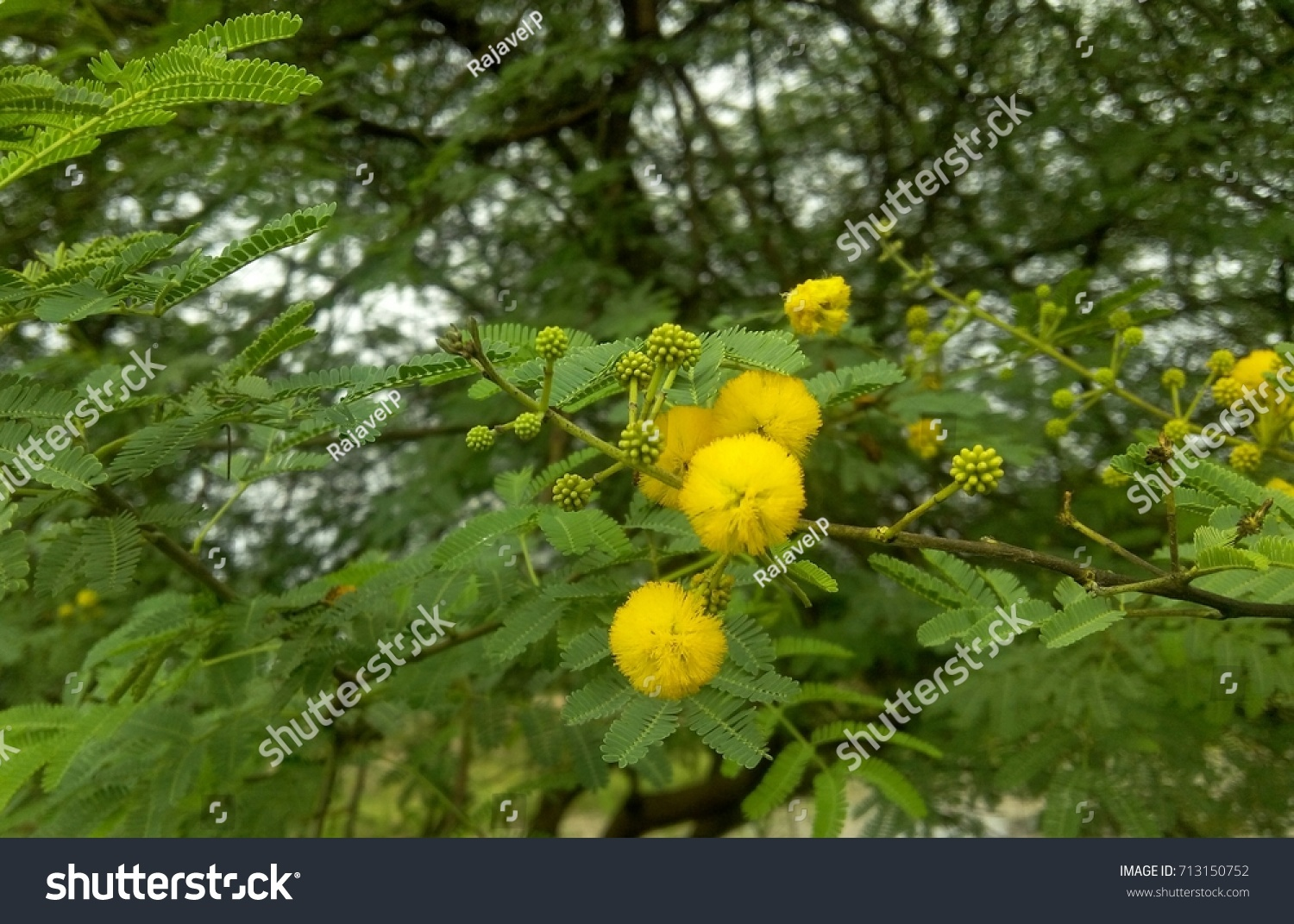 Prosopis Juliflora Tree Flower Invasive Species Stock Photo Edit