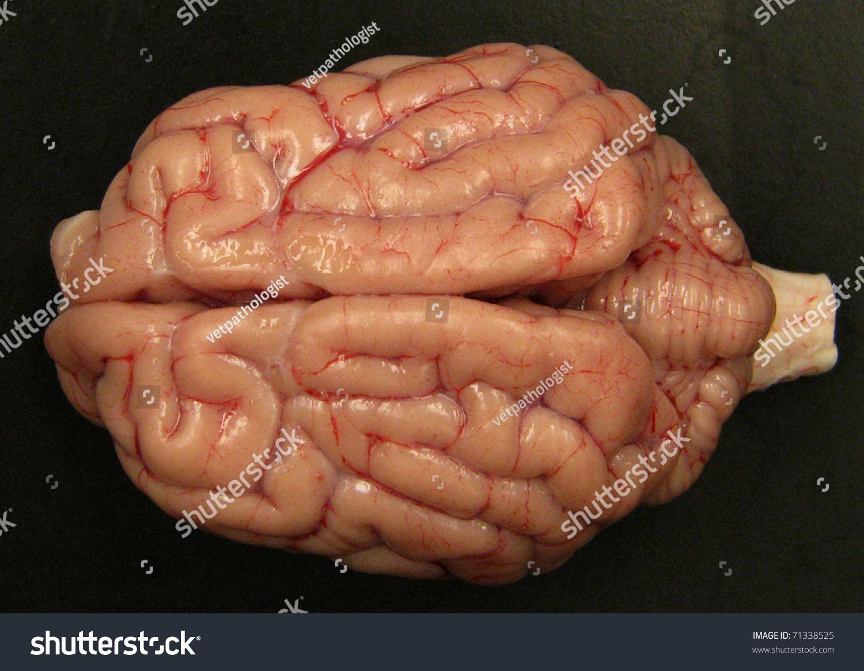 Dog Brain Stock Photo (Edit Now) 71338525 - Shutterstock