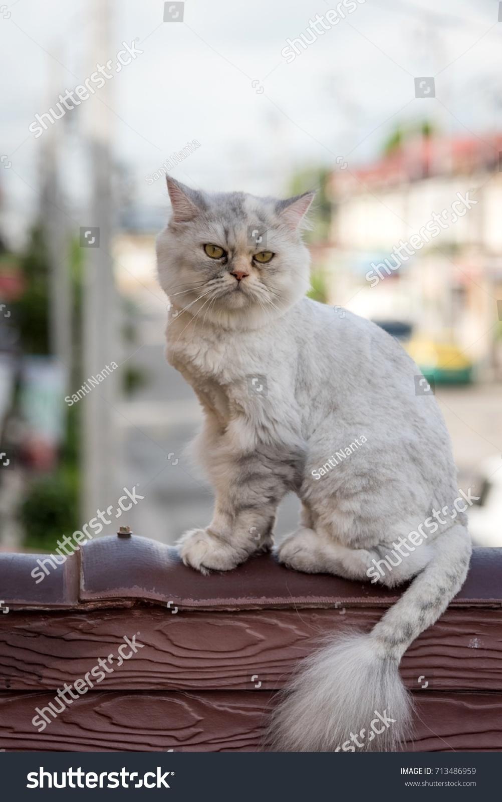 Persian Cat Haircut Like Lion Stock Photo Edit Now 713486959