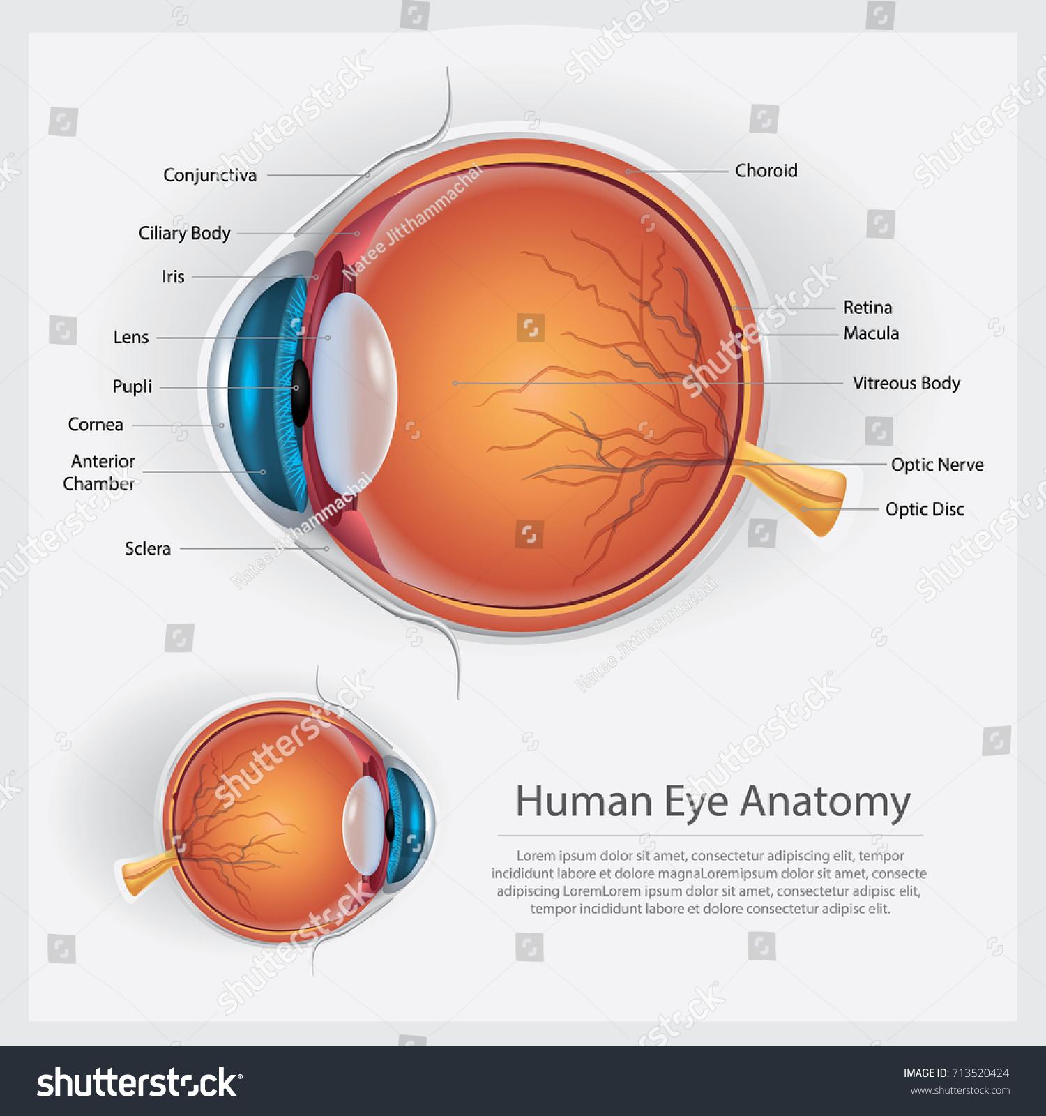 Human Eye Anatomy Vector Illustration Stock Vector 713520424 ...