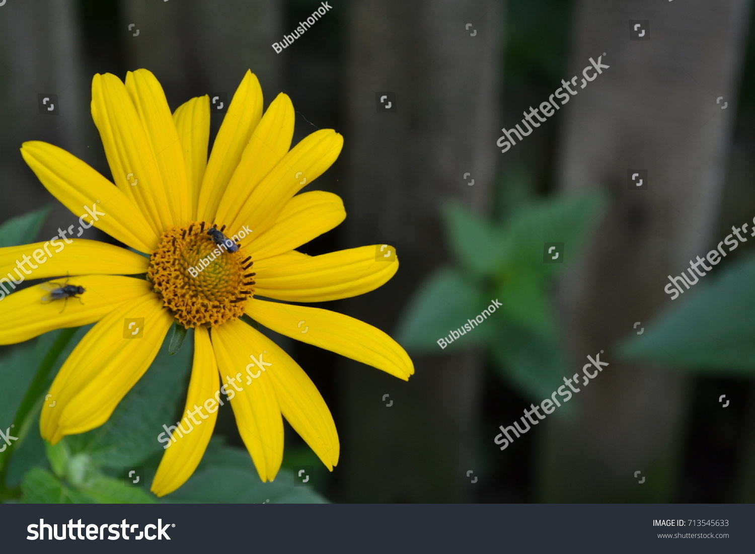 Heliopsis helianthoides perennial similar daisy tall stock photo heliopsis helianthoides perennial similar to the daisy tall flowers flowers are yellow izmirmasajfo Choice Image