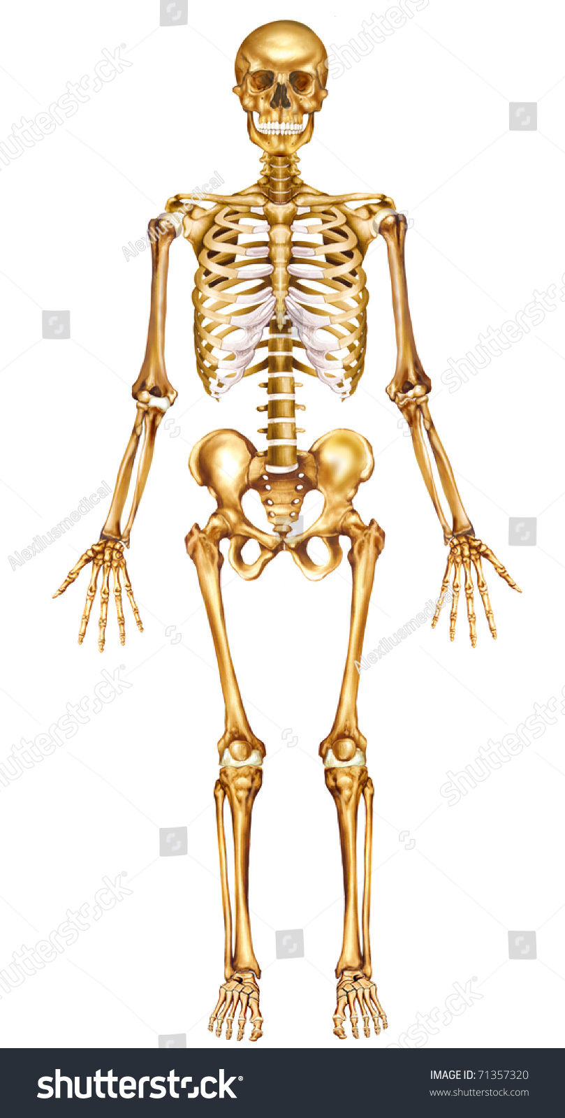 Illustration With Front View Of The Human Skeleton Ez Canvas