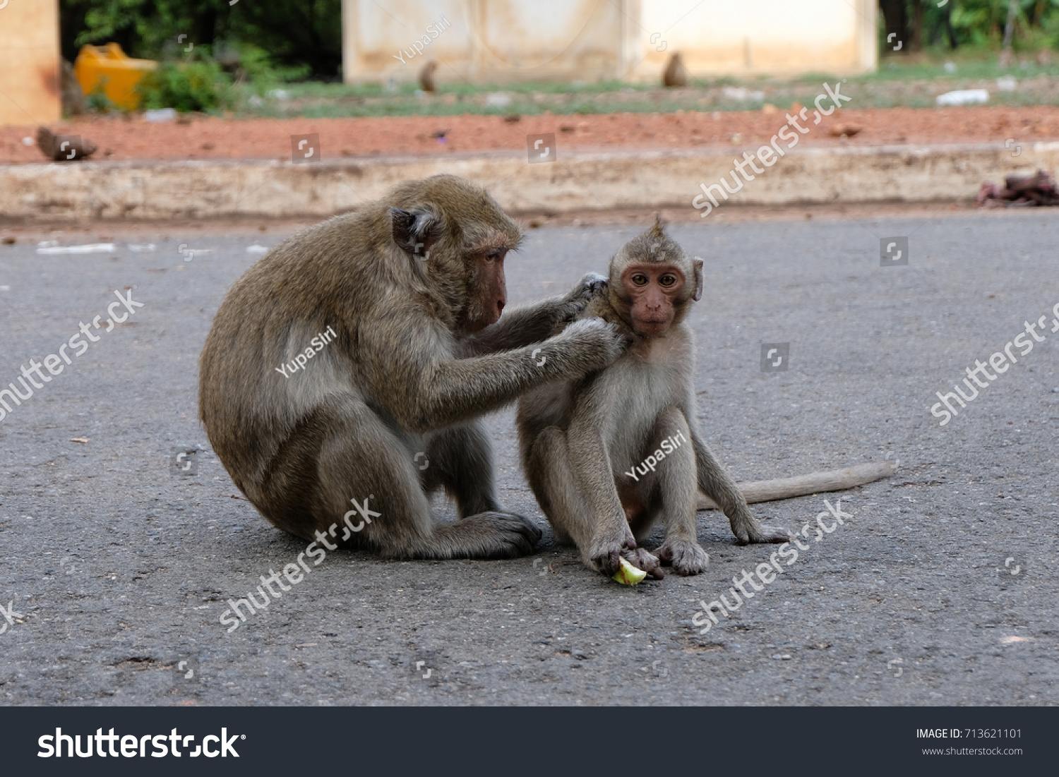 Mother Monkey Looking Fleas Baby Animals Wildlife Stock Image 713621101