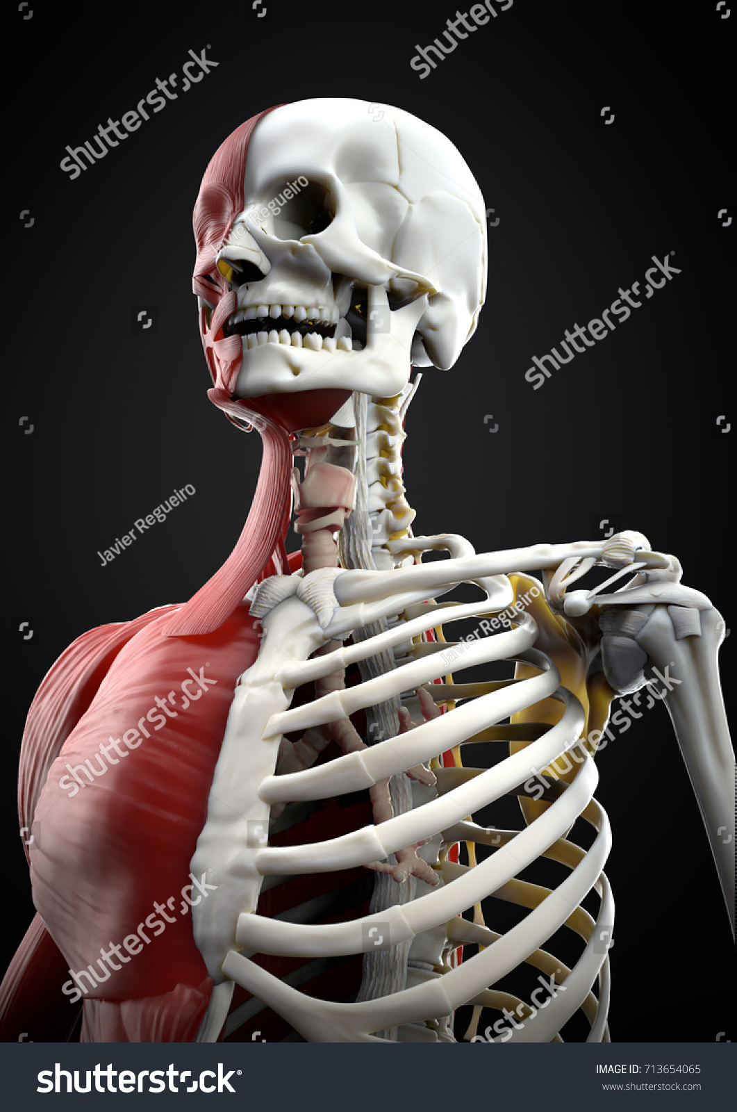 Illustration Human Body Upper Skeletal System Stock Illustration