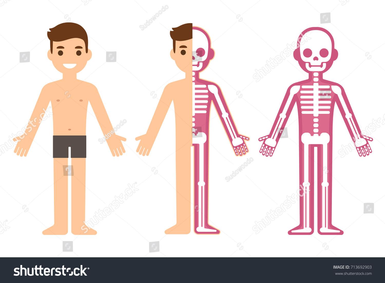 Cartoon Male Skeleton Anatomy Chart Simple Stock Vector (Royalty ...