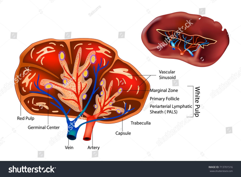 Structure Spleen Spleen Anatomy Cross Section Stock Vector Royalty