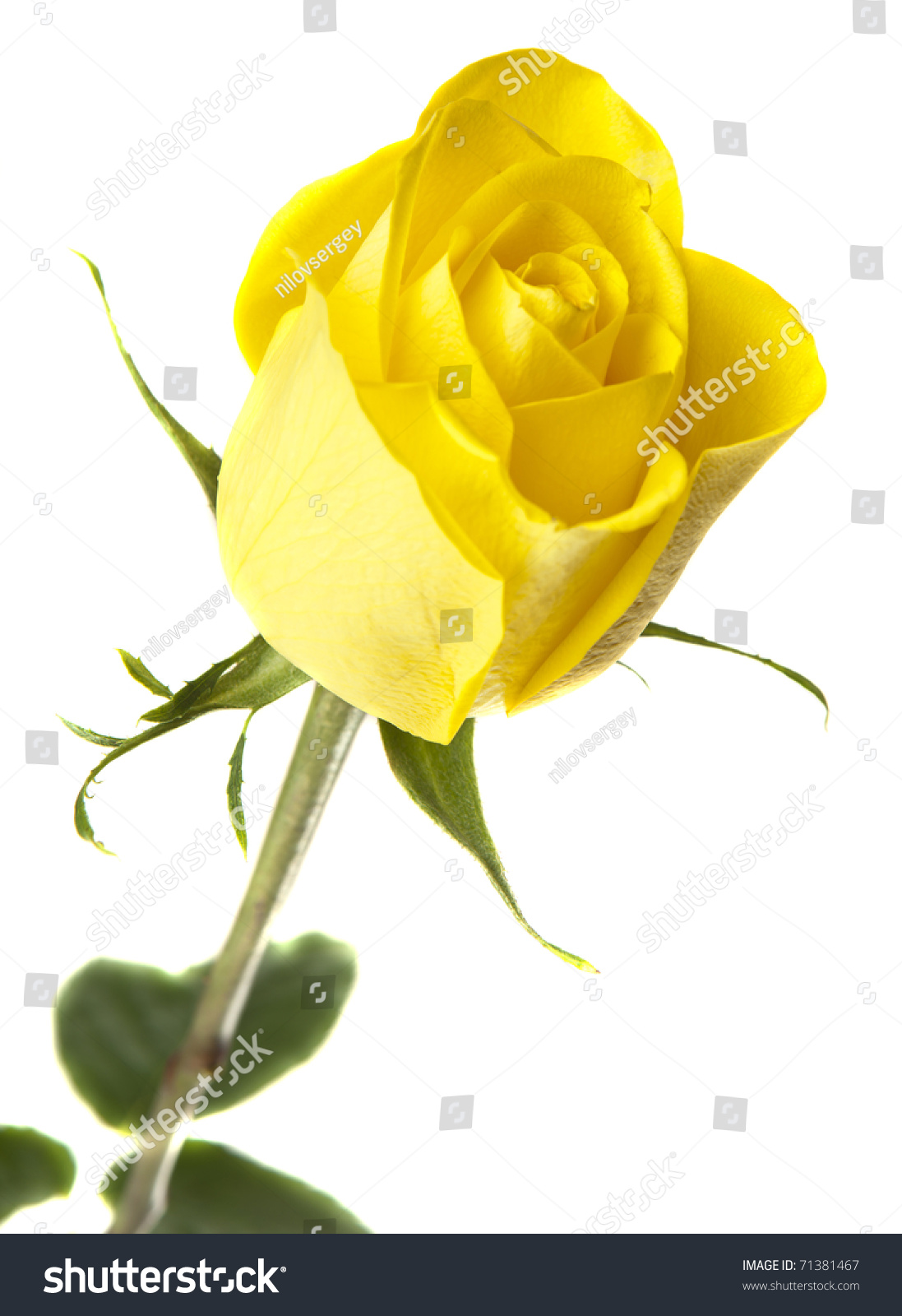 yellow rose on a white background isolated stock photo