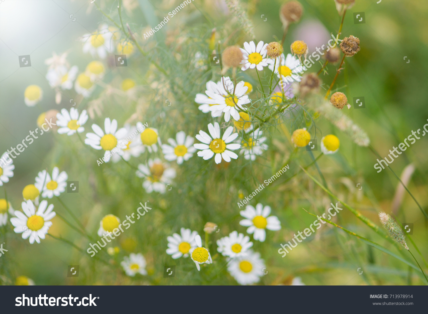 Camomiles Close Up Flower With White Petals And Green Background