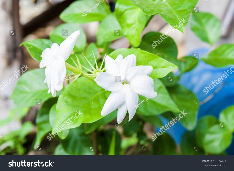Close Up Jasmine Flower In A Garden Ez Canvas