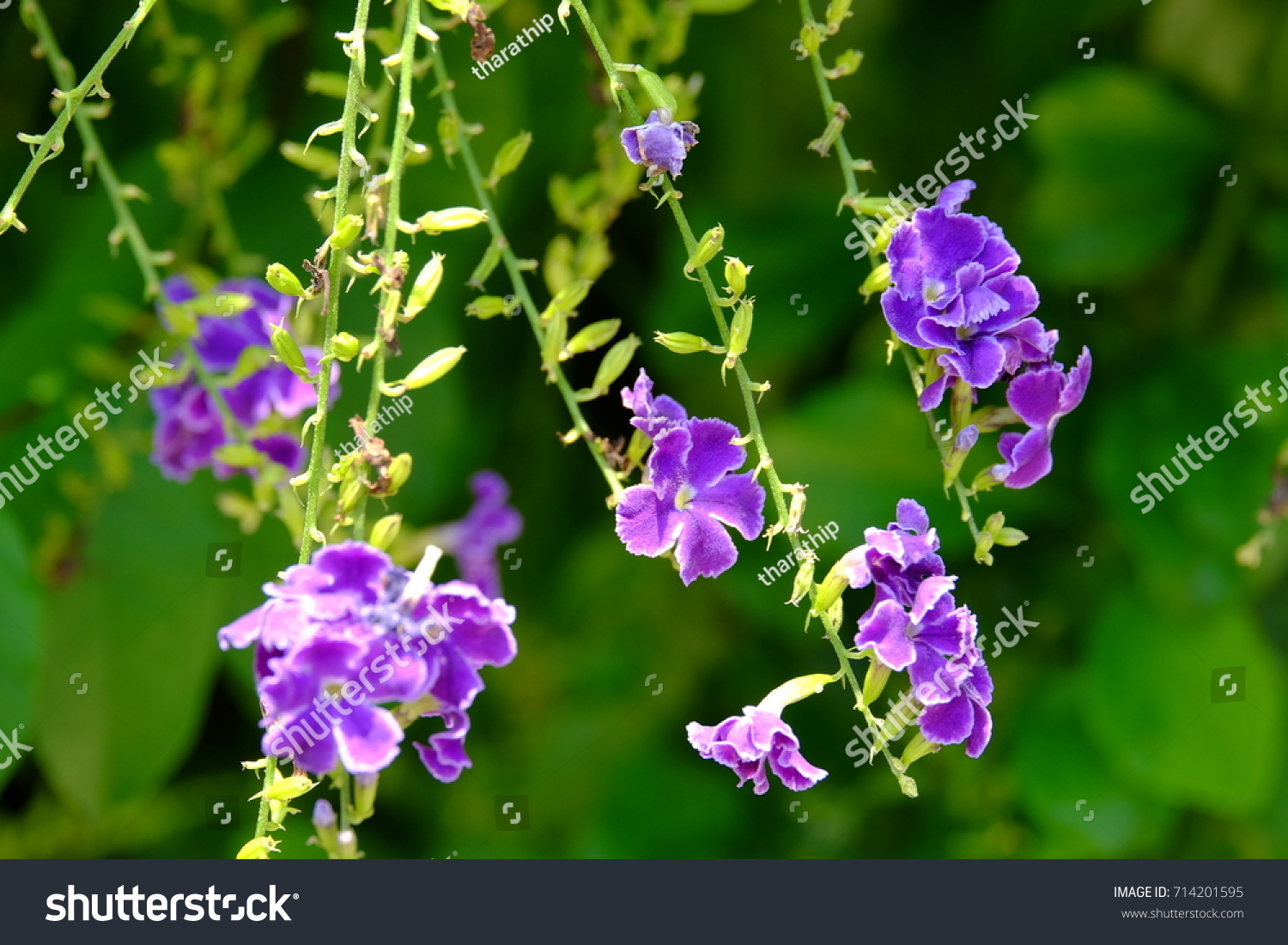 Purple flowers and small white flowers with bright green leaves id 714201595 mightylinksfo