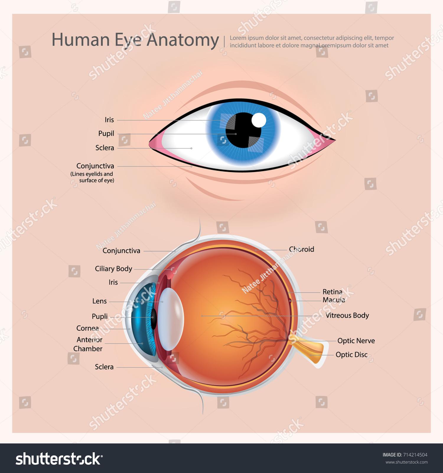 Human Eye Anatomy Vector Illustration Stock Vector 714214504 ...