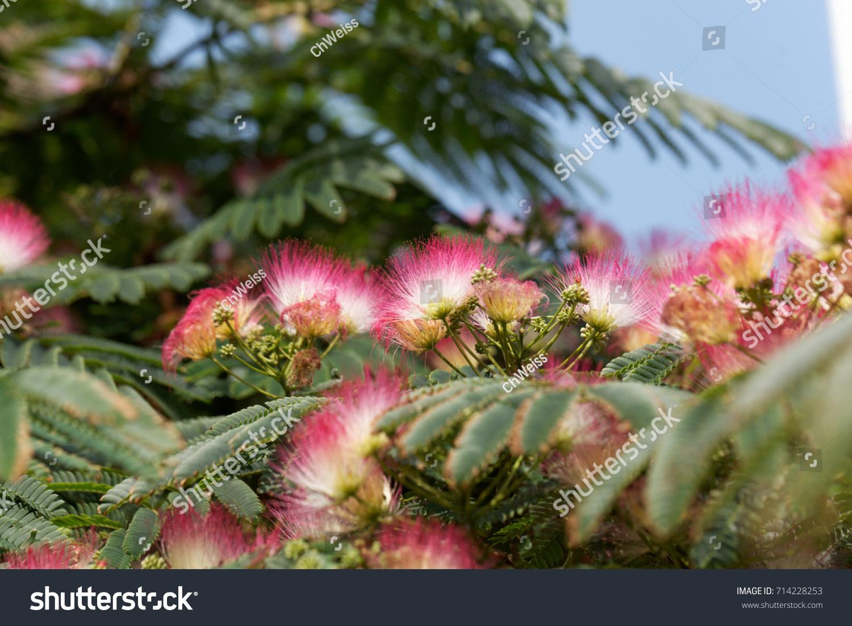 Flowers Persian Silk Tree Albizia Julibrissin Stock Photo Edit Now