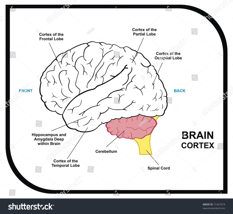 Vector - Human Brain Diagram