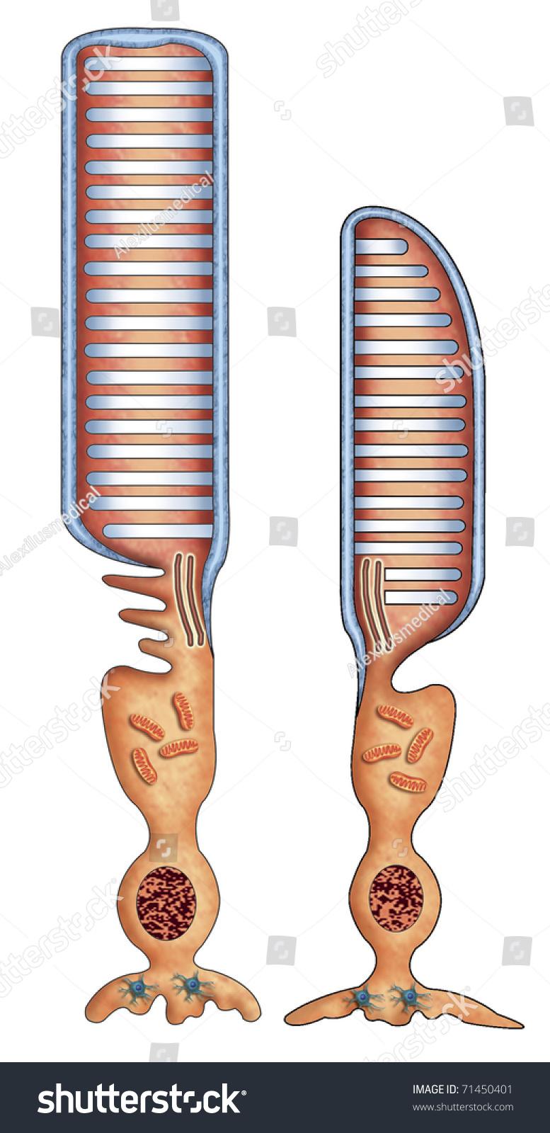 Illustration Her Retina Rod Cone Cells Stock Illustration 71450401
