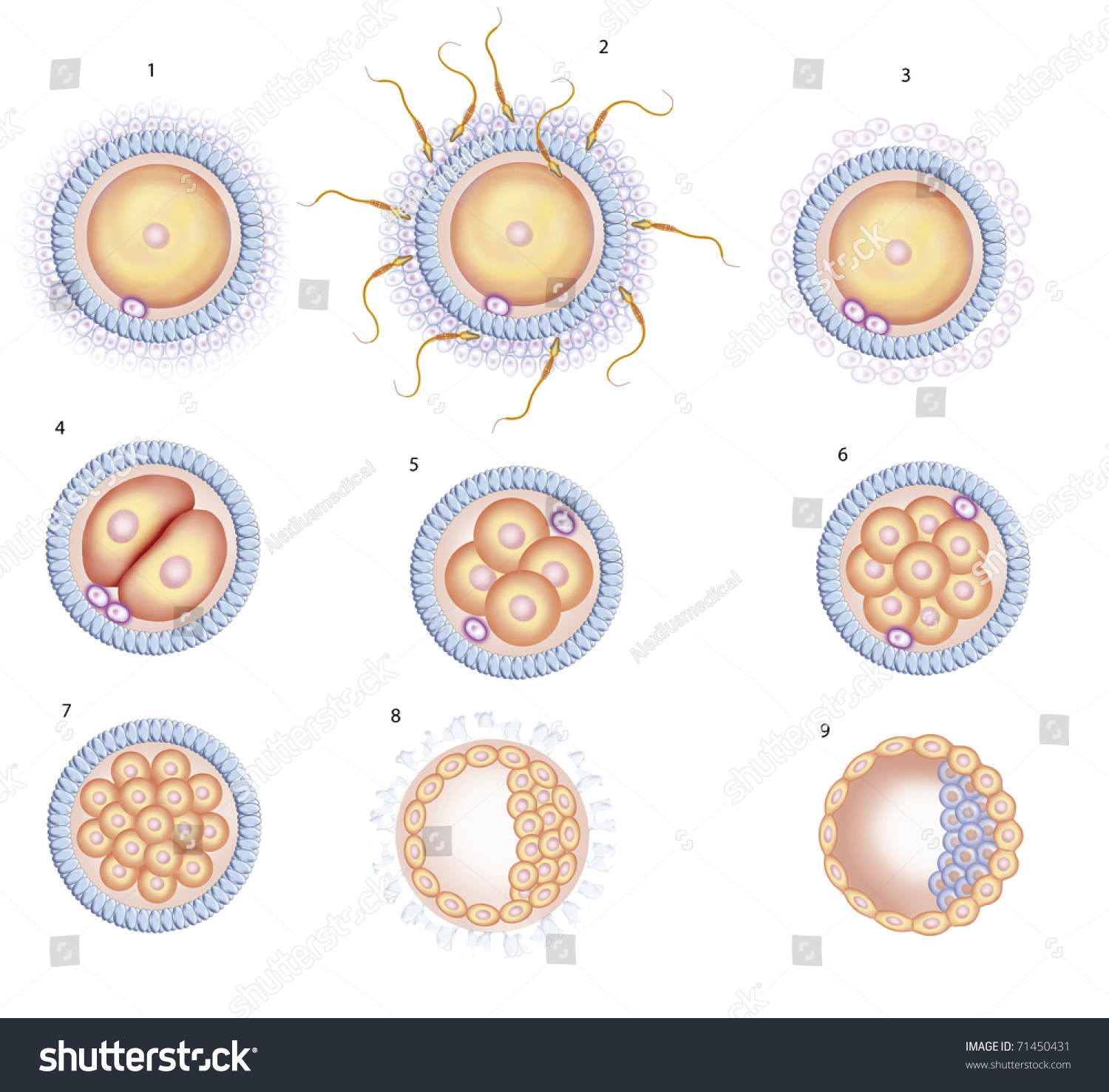 the process of cell multiplication Unit 1 discusses fertilization, the first cell division, mitosis, early pregnancy factor,  as well as  to 30 hours after fertilization12 the process of repeated cell division  is called cleavage13  mitosis – dynamic division, magnificent multiplication.