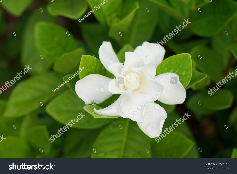 White Gardenia Flower Gardenia Jasminoides With Rain Drops Ez Canvas