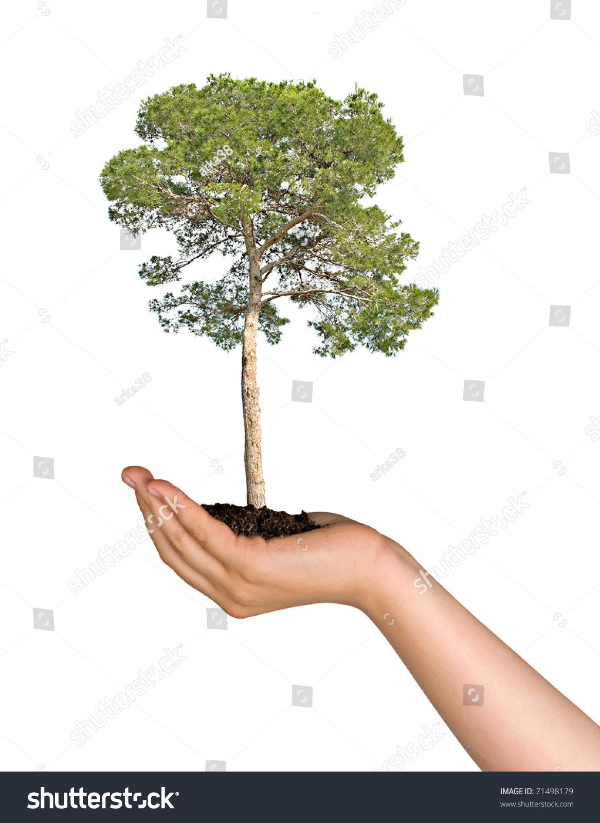 Pine tree hand symbol nature protection stock photo 71498179 pine tree in hand as a symbol of nature protection biocorpaavc