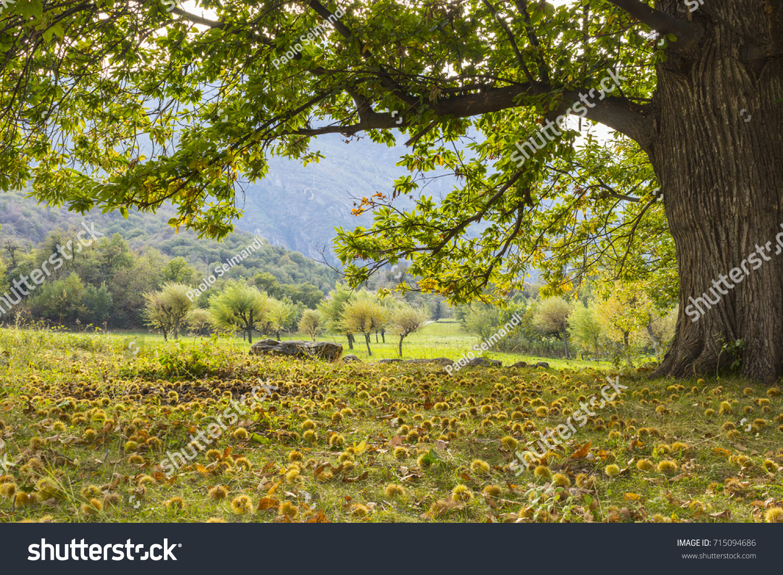 Aosta Valley Italy October 2016 Chestnut Stock Photo (Royalty Free ...