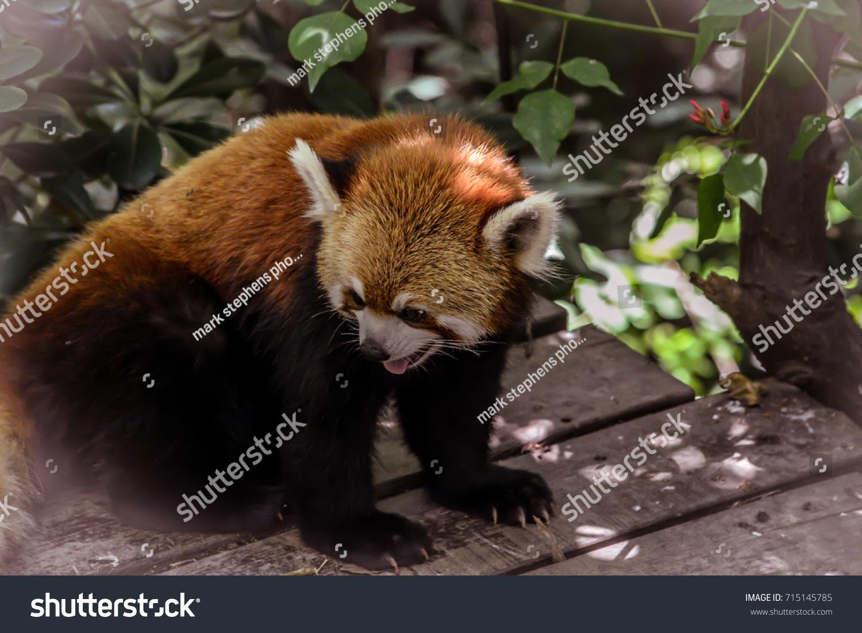 stock-photo-red-panda-ailurus-fulgens-fr