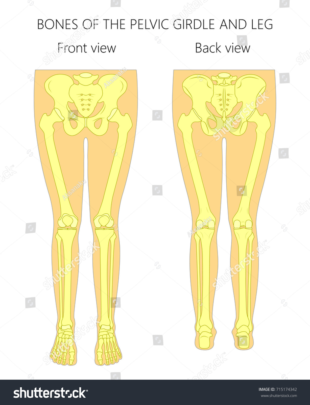 Vector Illustration Anatomy Human Pelvic Girdle Stock Vector (2018 ...