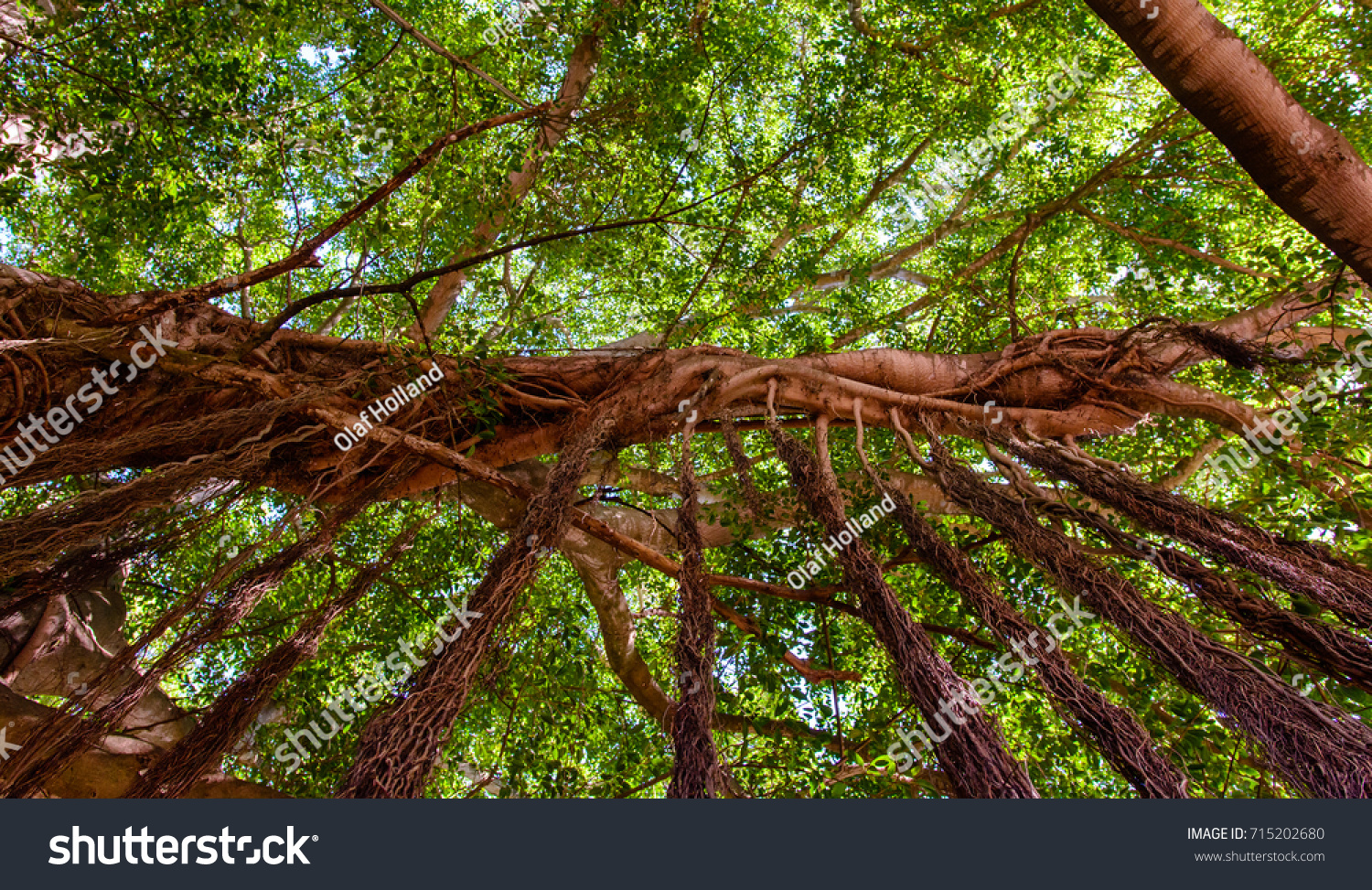 Color Outdoor Image Tree Hanging Roots Stock Photo 715202680 ...