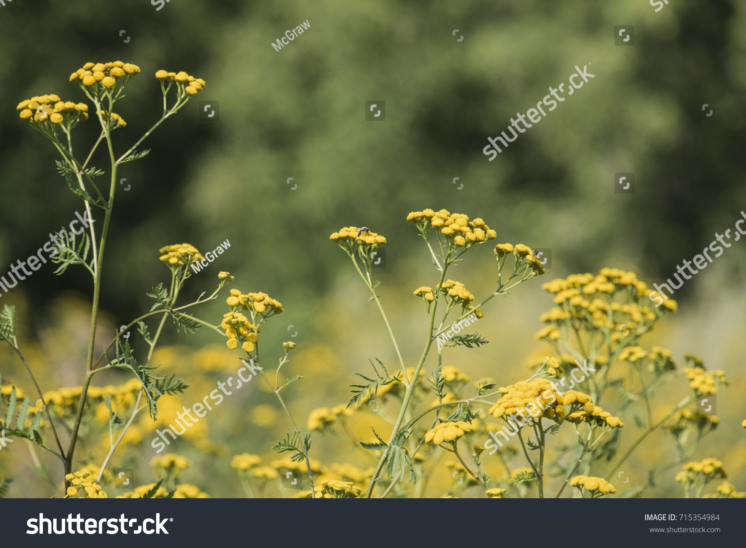 Medicinal herbs yellow flowers tansy on stock photo edit now medicinal herbs yellow flowers tansy on a blurred background tanacetum vulgare mightylinksfo