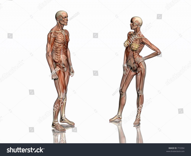 Anatomically Correct Medical Model Human Body Stock