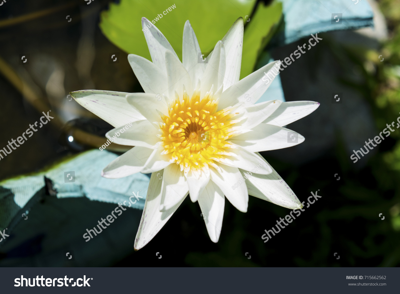 White lotus flower high angle shot stock photo 715662562 shutterstock white lotus flower high angle shot izmirmasajfo Choice Image