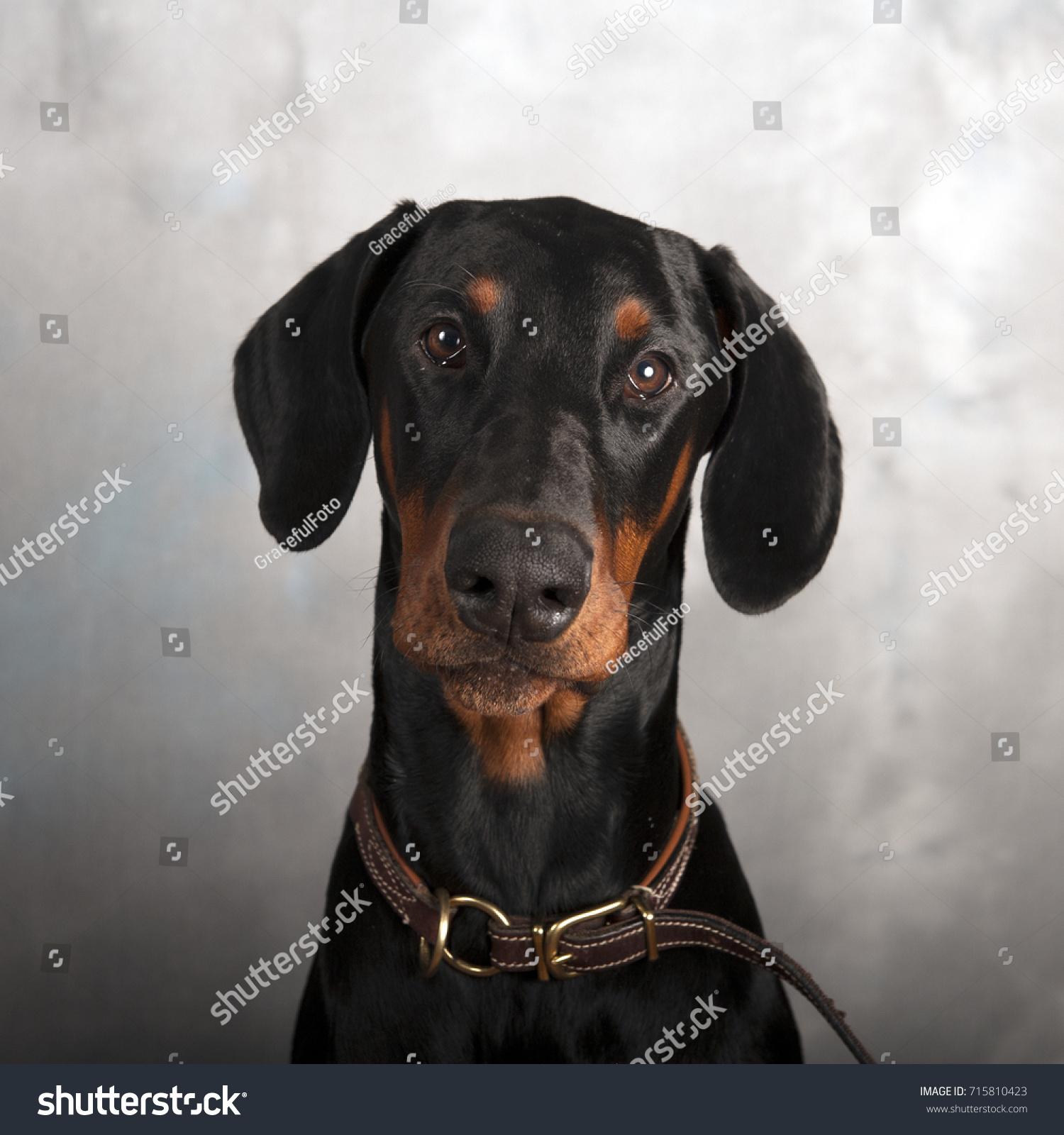 Beautiful Doberman Puppy Six Months Old Stock Photo Edit Now 715810423