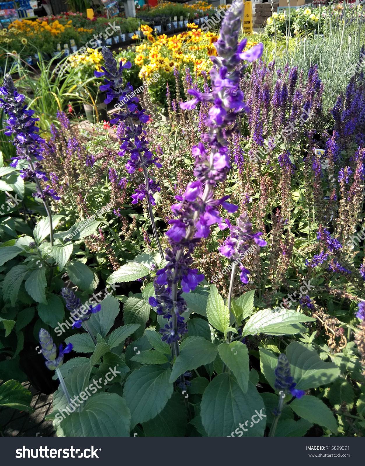 Salvia Balsalmisp Salvia Mystic Spires Blue Stock Photo Edit Now