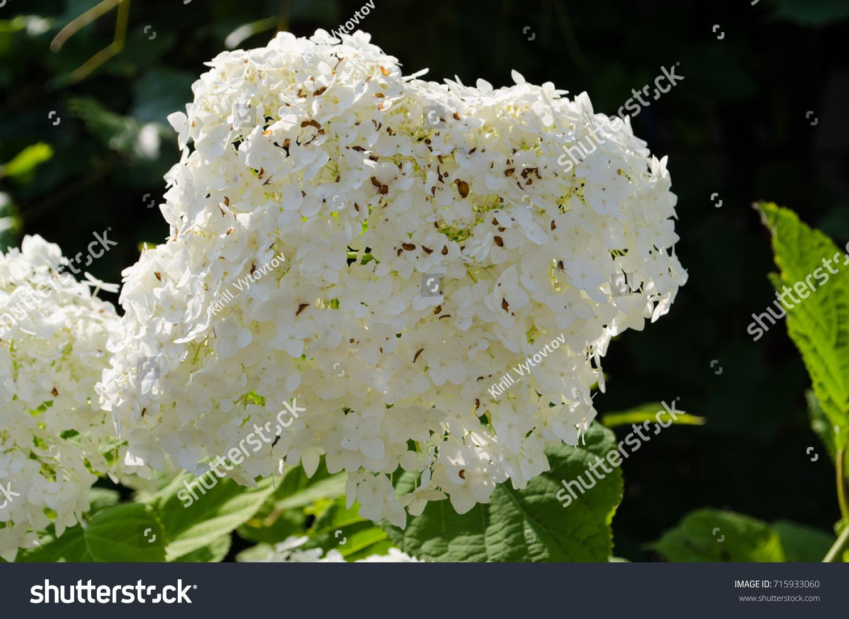 White Flower Bush Lots Buds Hydrangea Stock Photo Edit Now