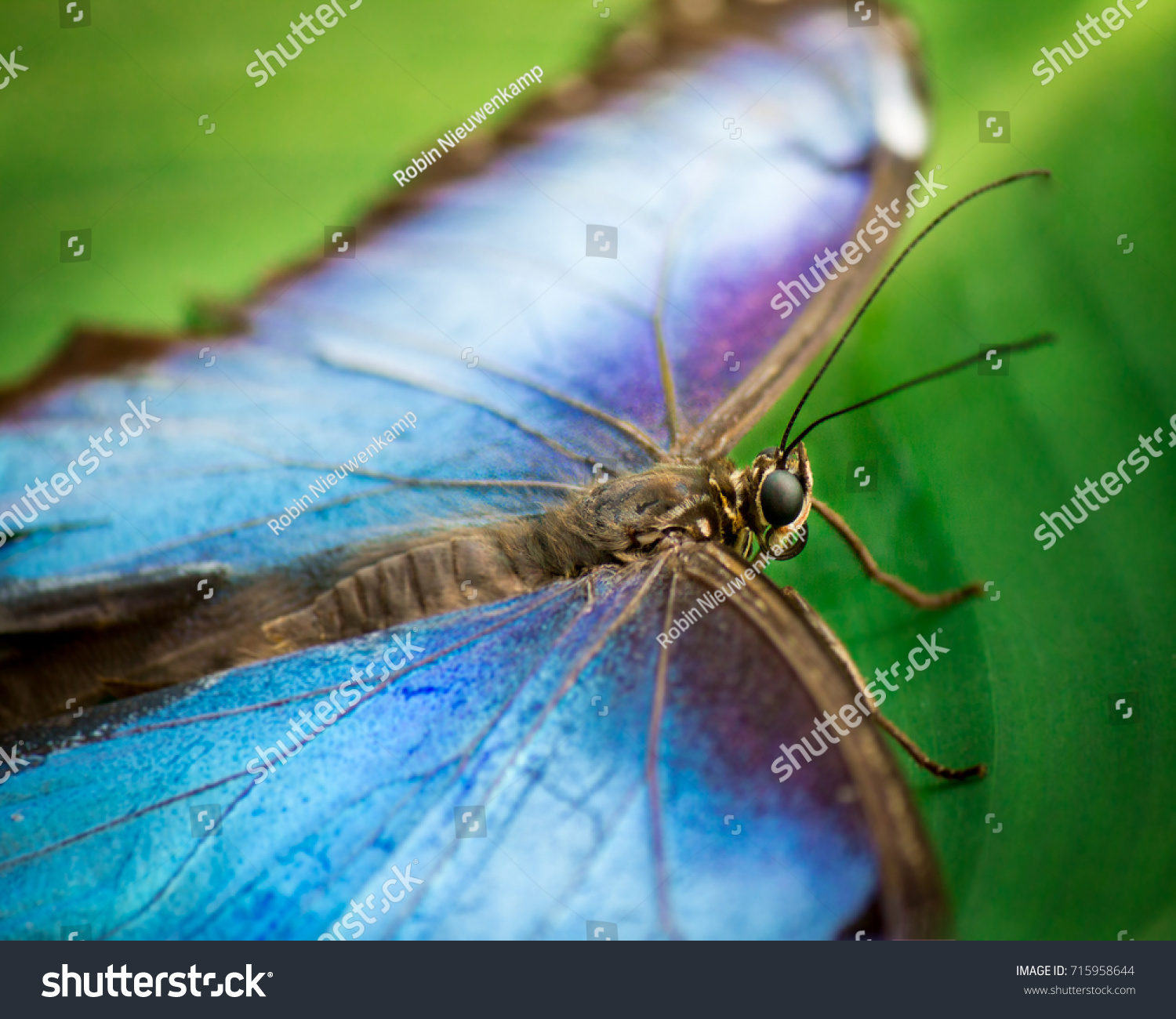 stock-photo-blue-morpho-butterfly-scient