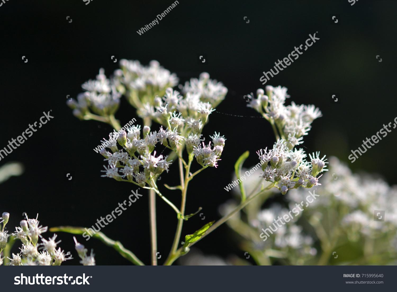 White Weed Flower 2 Ohio Stock Photo (Edit Now) 715995640 - Shutterstock
