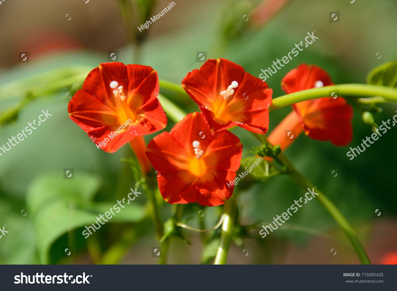 Pretty Flowers Red Morning Glory Stock Photo Edit Now 716005420