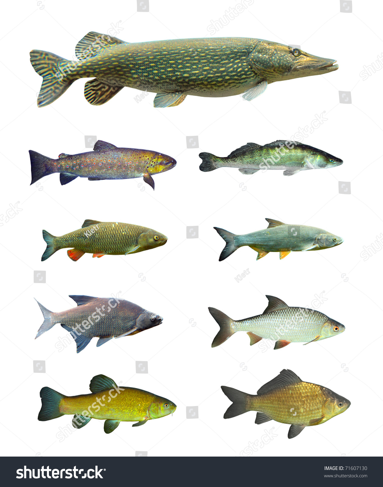 Freshwater fish - Great Collection Of Freshwater Fish On White Background