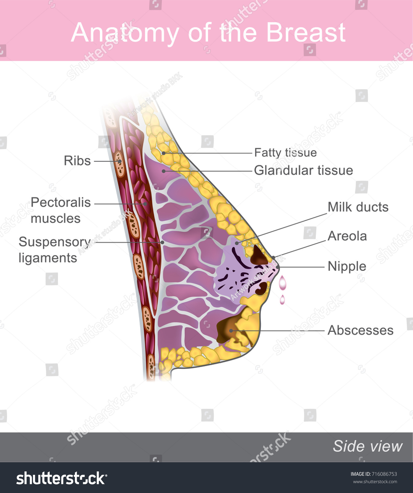 Breast One Two Prominences Found On Stock Vector 716086753 ...