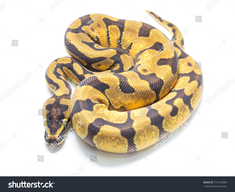 Ball Python On White Background Stockfoto (Jetzt bearbeiten ...