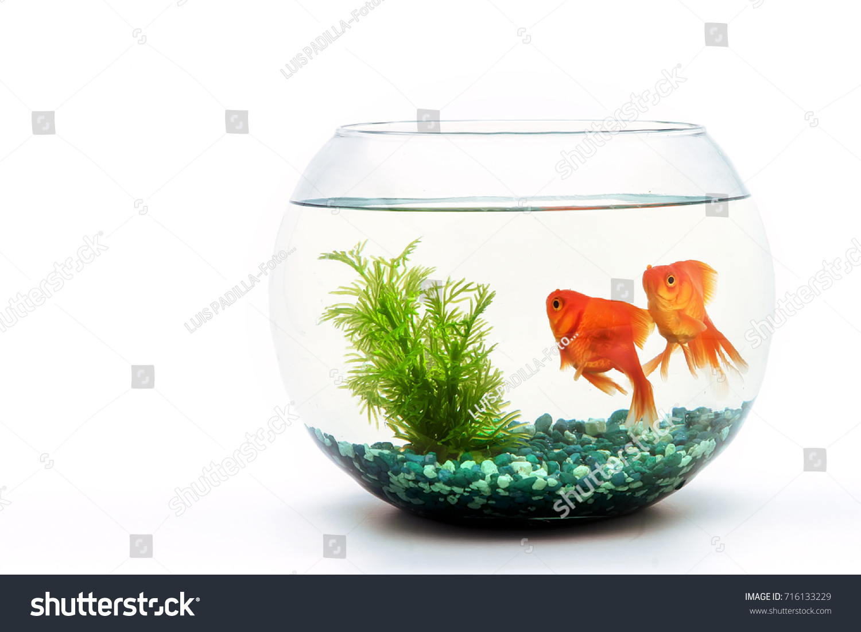 Goldfish Fishbowl Stock Photo (Royalty Free) 716133229 - Shutterstock