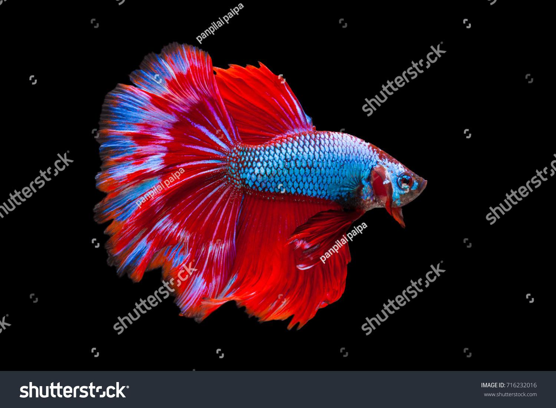 Multi Color Siamese Fighting Fishhalfmoonfighting Fish Betta Stock ...