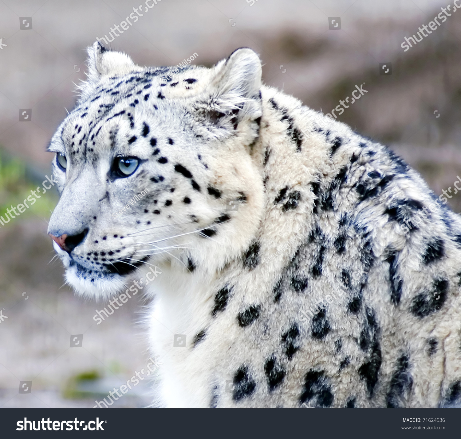 Snow leopard face side - photo#18