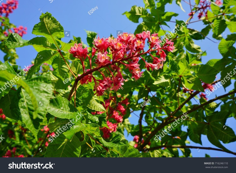 Pink flowers red horse chestnut tree stock photo 716246110 pink flowers of the red horse chestnut tree aesculus mightylinksfo Gallery