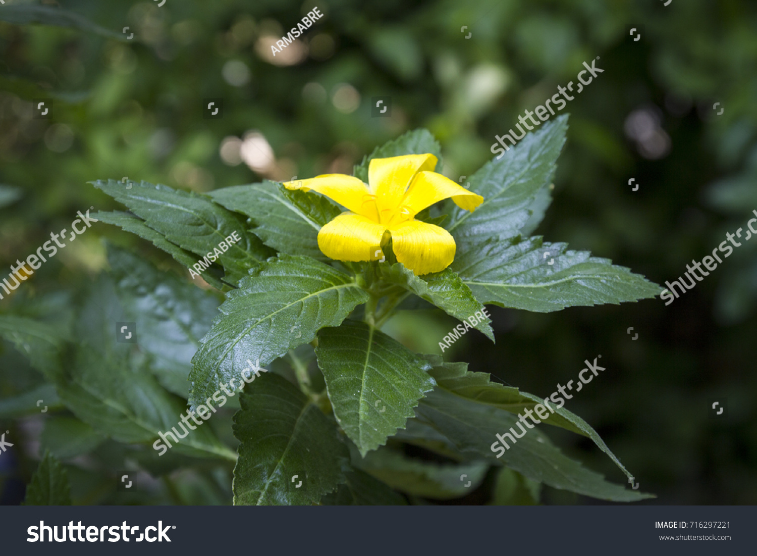 Yellow Sage Rose Flower Has 5 Stock Photo Royalty Free 716297221
