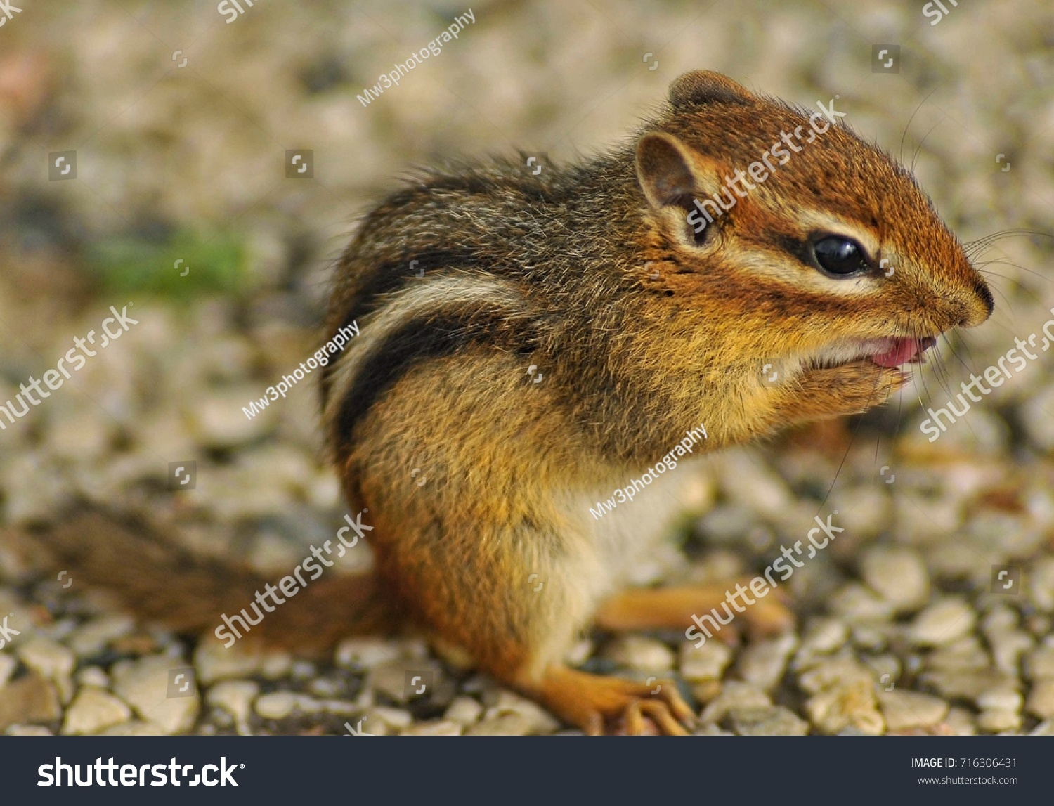 Chipmunk licks it's paws